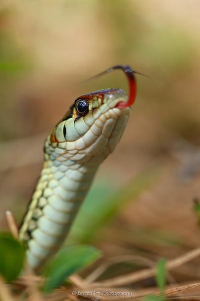 DF.3913 - common garter snake, Bonner County, ID.