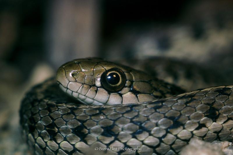 S.345 - garter snake, Douglas County, CO.