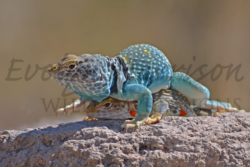 Collared Lizards