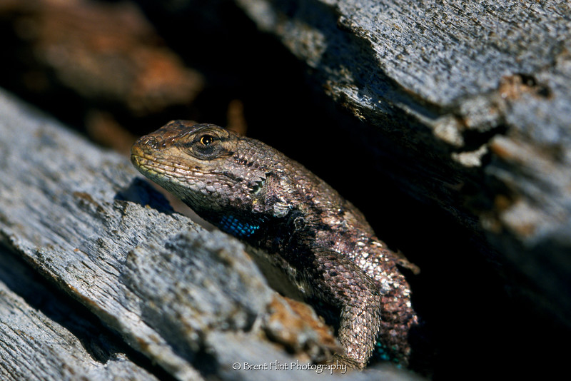S.781 - western fence lizard, Castlewood Canyon State Park, CO.