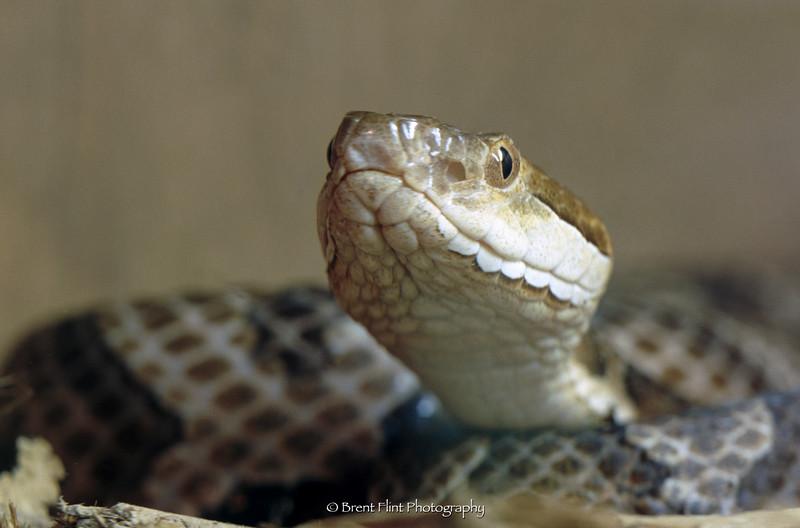 S.3527 - Copperhead, Salato Wildlife Education Center, Frankfort, KY.