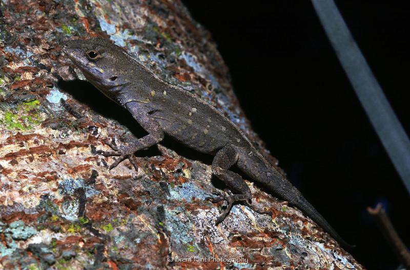 S.2718 - Anole lizard, Collier County, FL.