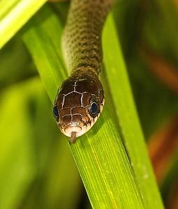 Juvenile keelback snake