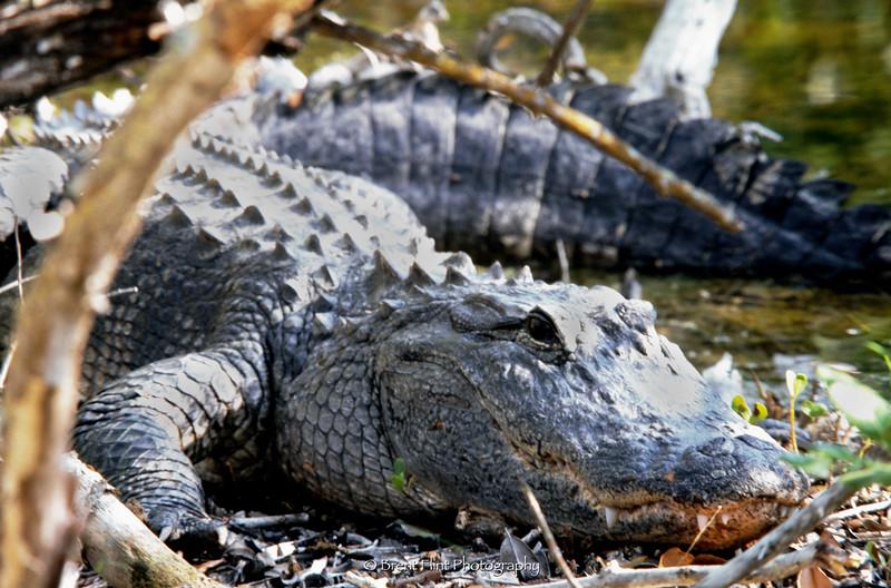 """S.2755 - American alligator, J.N. """"Ding"""" Darling National Wildlife Refuge, FL."""