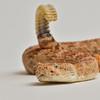 Southwestern Speckled Rattlesnake