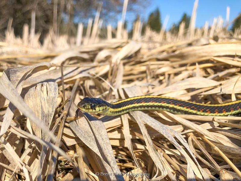DF.5082 - Northwestern garter snake (Thamnophis ordinoides) in dry grass, Turnbull National Wildlife Refuge, WA.