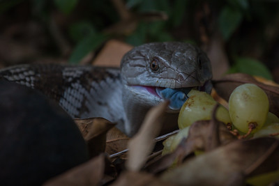 Bluetongue skink