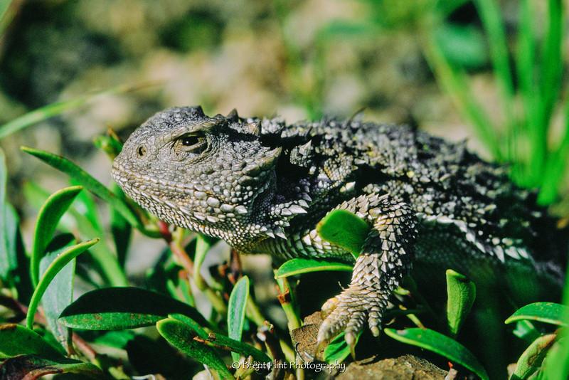S.1393 - short-horned lizard, Douglas County, CO.
