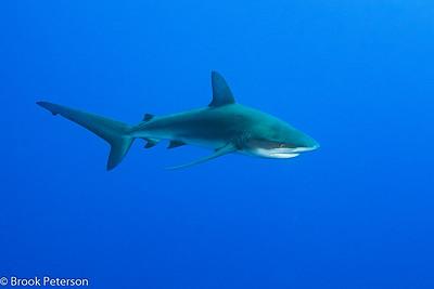 Galapagos Shark Cruising