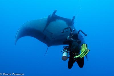 Giant Pacific Manta Ray