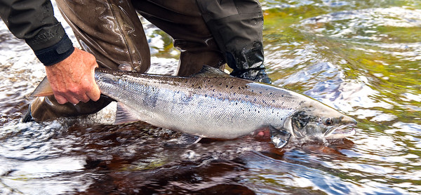 A lovely River Finn spring salmon being returned