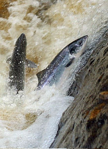 Close up of Atlantic salmon jumping waterfall River Finn Co Donegal, Ireland
