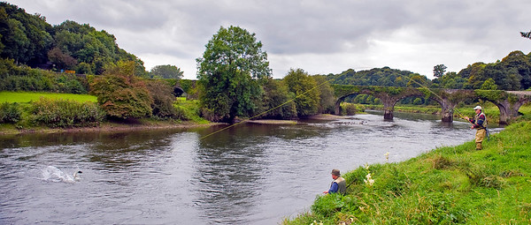 Salmon jumps as fly angler plays salmon on River Nore Kilkenny Ireland