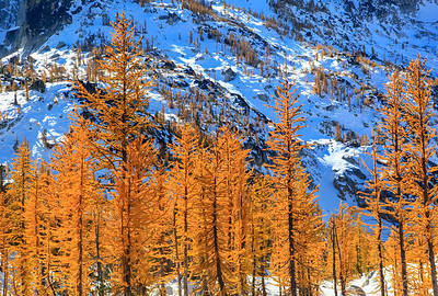 Golden Larch Forest The Enchantments, Washington