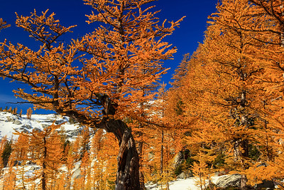 Golden Larch The Enchantments, Washington