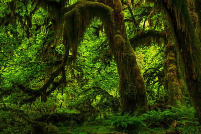 The Hoh Rainforest Olympic National Park, Washington
