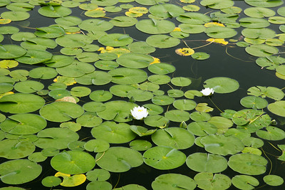 Lilly pads, Long Pond, Mt. Desert Isl. Me.