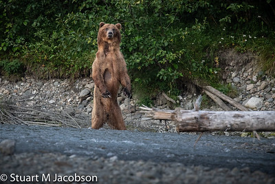 web-bear standing-5629