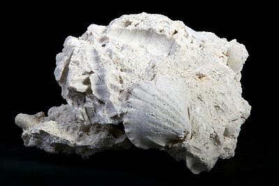 Fossiliferous Limestone (Sedimentary Rock)