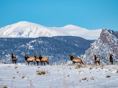 Elk Strut