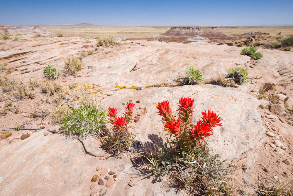 Indian Paint Brush Blooming in Petrified Forest National Park