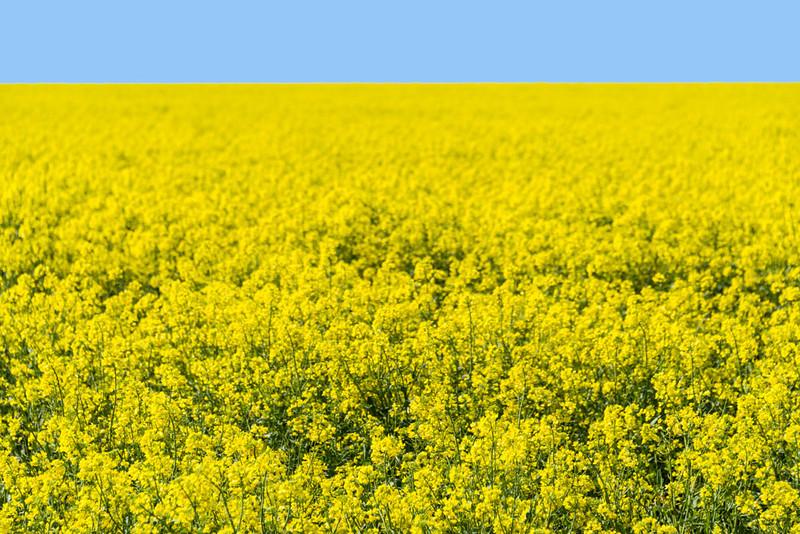 Fields of Yellow Canola