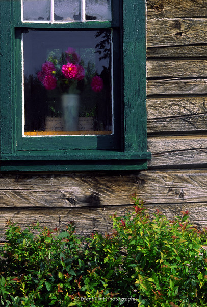 S.2203 - dahlias in window, Itasca County, MN.