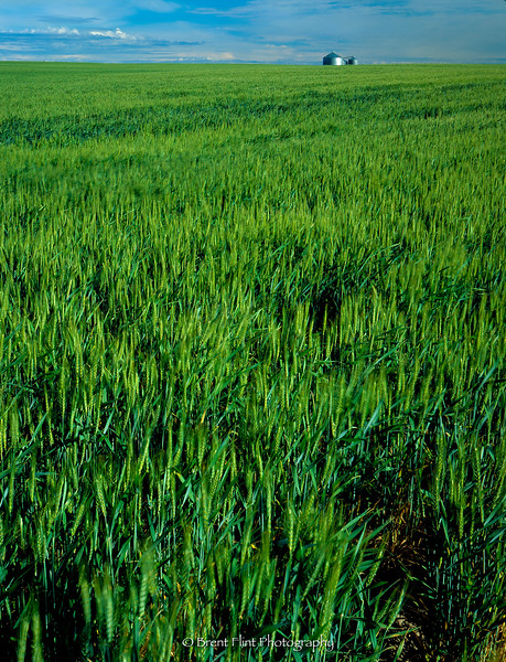 S.4117 - Spring wheat and silos, Adams County, WA.