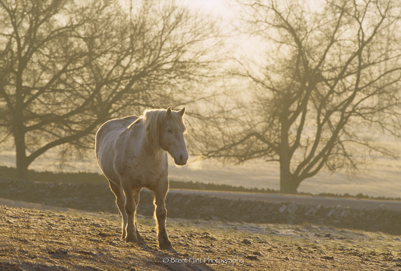 S.3511 - draft horse in morning light, Shaker Village at Pleasant Hill, KY.