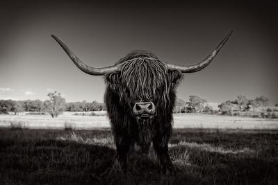 Highland Cow Kyneton Victoria B&W www greatartphotos com