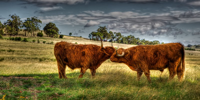 Scottish Highland Cattle - Furry Scottish Highland Cattle preening each other in a paddock. ~WIDE VIEW~