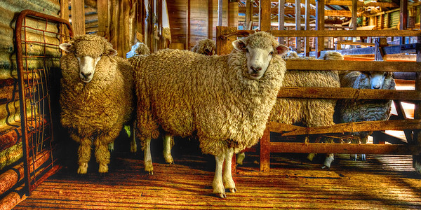 Merino Sheep  in the Shearing Shed