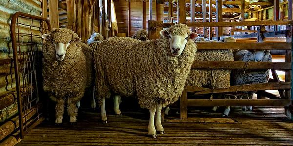 Merino Sheep  in the Shearing Shed - Woolly Merino sheep  gathering in the shearing shed for haircuts! New South Wales Merino Sheep Farming Australia. ~WIDE VIEW~