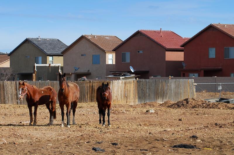 Rural Verses Urban: Laveen Horses