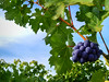 Grapes on vines 4