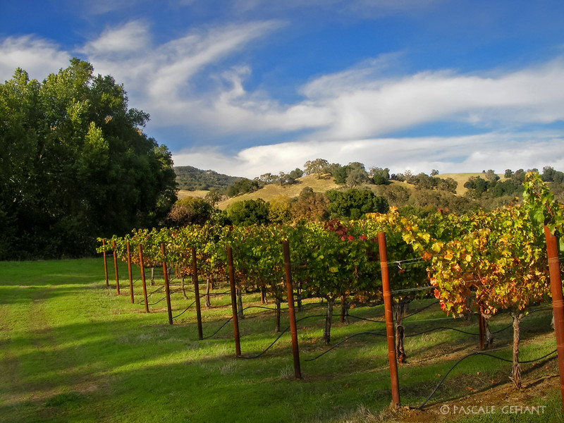 Rows of grapevines with hill 2
