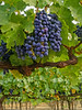 Grapes on vines 2