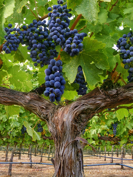 Grapes on vines 3