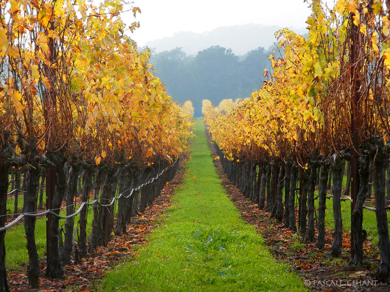 Rows of grapevines in the fall