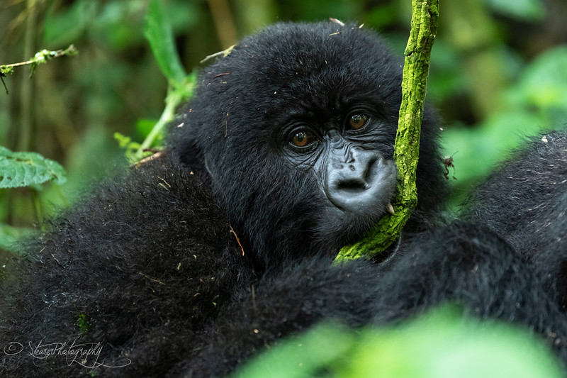 Gorilla III - Mountain Gorillas, Volcanoes National Park, Rwanda, 2019