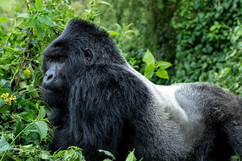 Silverback - Mountain Gorillas, Volcanoes National Park, Rwanda, 2019