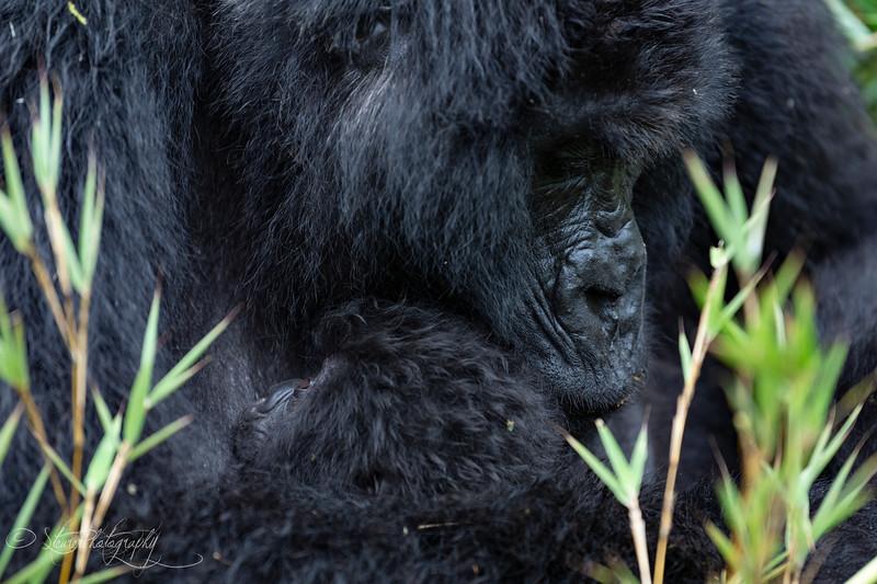 Motherhood II - Mountain Gorillas, Volcanoes National Park, Rwanda, 2019