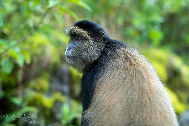 Golden Monkey III  - Volcanoes National Park, Rwanda, 2019