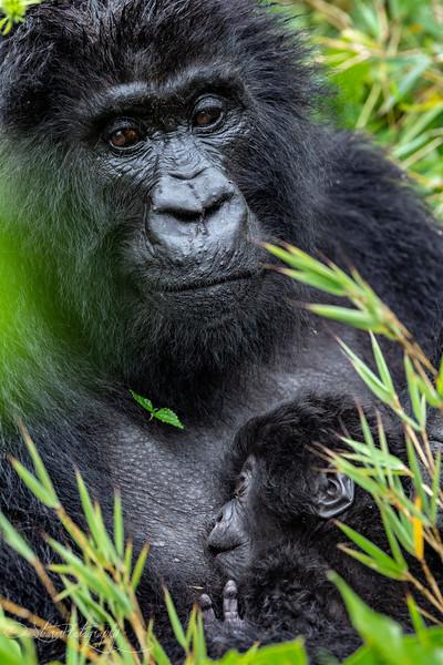 Motherhood III - Mountain Gorillas, Volcanoes National Park, Rwanda, 2019
