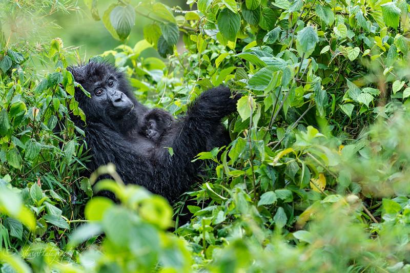 Motherhood I - Mountain Gorillas, Volcanoes National Park, Rwanda, 2019
