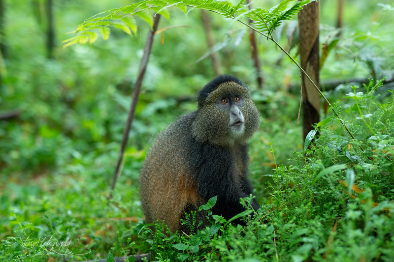Golden Monkey I  - Volcanoes National Park, Rwanda, 2019