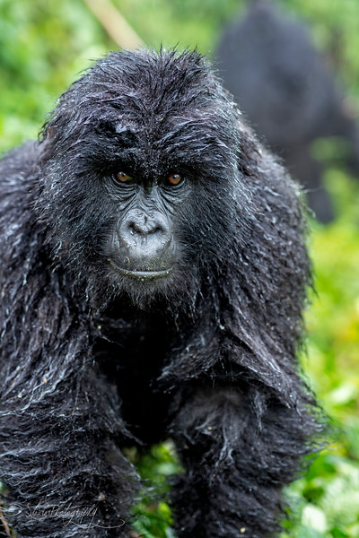 Gorilla I - Mountain Gorillas, Volcanoes National Park, Rwanda, 2019