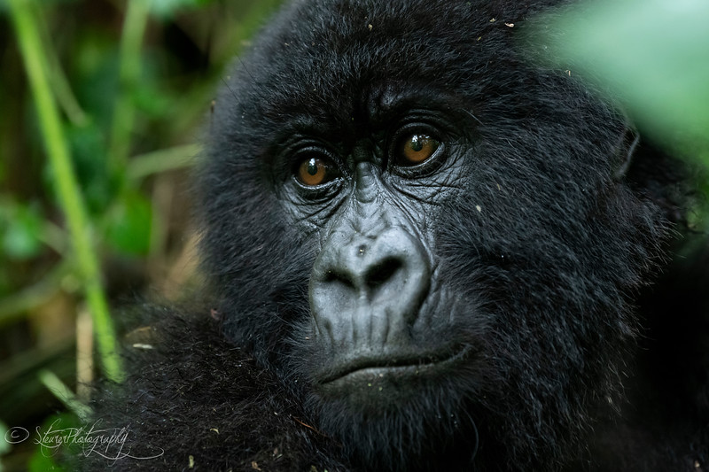 Gorilla II  - Mountain Gorillas, Volcanoes National Park, Rwanda, 2019