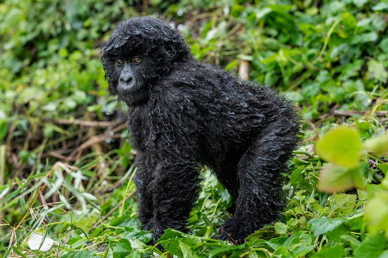 Gorilla IV - Mountain Gorillas, Volcanoes National Park, Rwanda, 2019