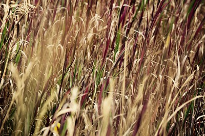Simple composition.  I like the abstract nature of the colors and focus.  The only thing I can see improved is perhaps bring the tuft of grass seed in the very upper left further into the composition.  It would stand out from the rest of the non-seeded grass stems.  nice photo.